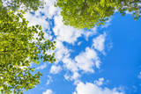 Fototapeta Na sufit - Beautiful blue sky with white clouds and green leaves looking up