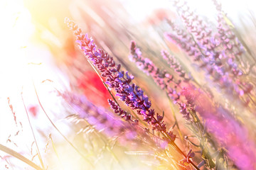 Fototapeta Purple meadow flowers illuminated with sun rays