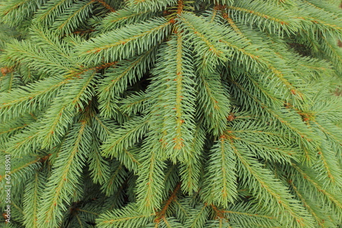Poster Oceanië Branches of fir tree as background