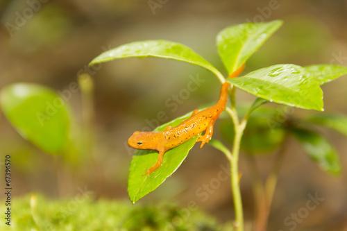 Fotografie, Obraz  Salamander Leaf