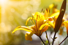 Yellow Blooming Lilies On A Sunny Day