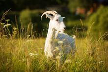 White Horned Goat Grazed On A ...