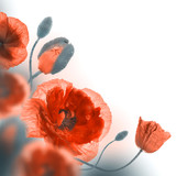 Red poppies field and blue cornflowers, floral background