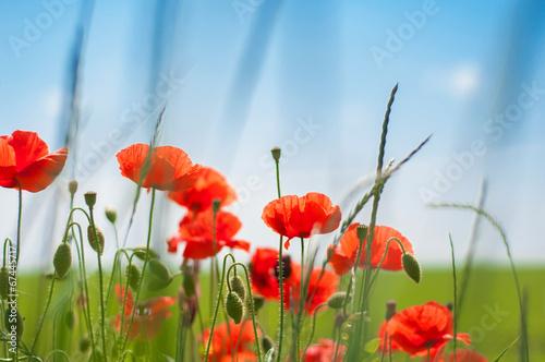 Fototapety, obrazy: Poppies