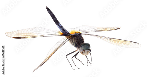 Blue Dasher Dragonfly Isolated