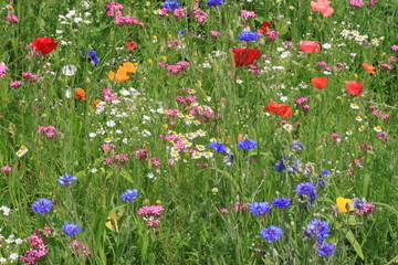 Fototapetaview on flowers on a meadow