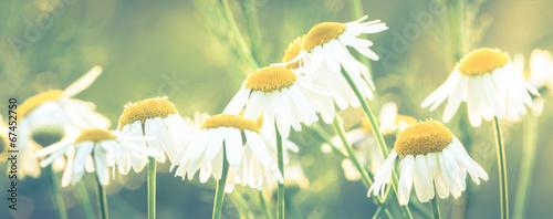 flowers daisies