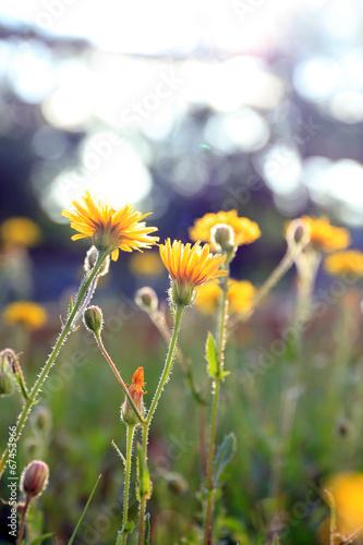 piekne-kwiaty-w-polu