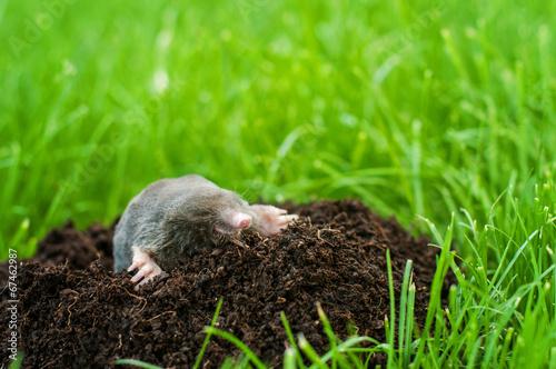 Fotografie, Obraz  Mole in the hole