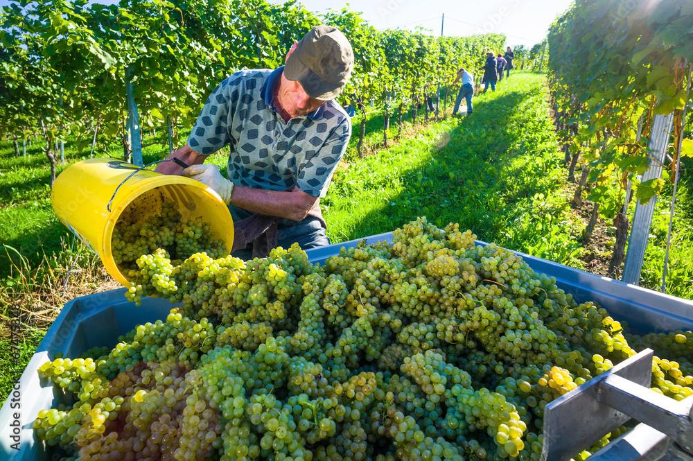 Fototapety, obrazy: Weinlese im Weingarten