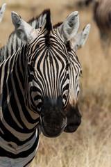 Fototapeta na wymiar Two zebra heads