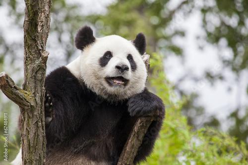 Keuken foto achterwand Panda Giant panda on the tree