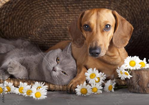 brytyjski-kociak-i-brazowy-jamnik-kot-i-pies