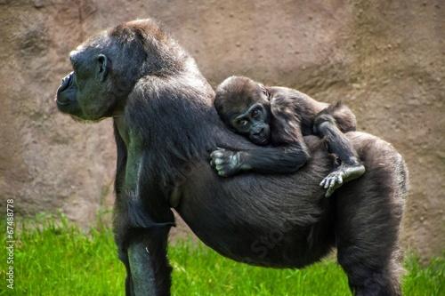 Valokuvatapetti Western lowland gorilla