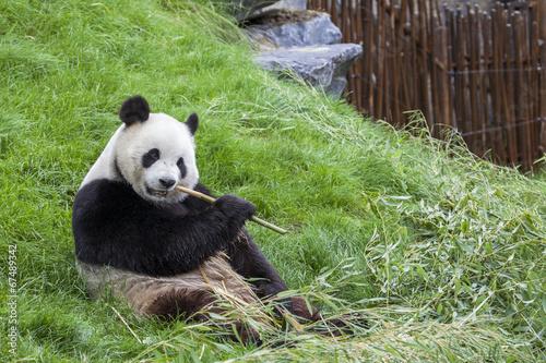 Fotografie, Obraz  Panda sedí na zemi a jí bambus