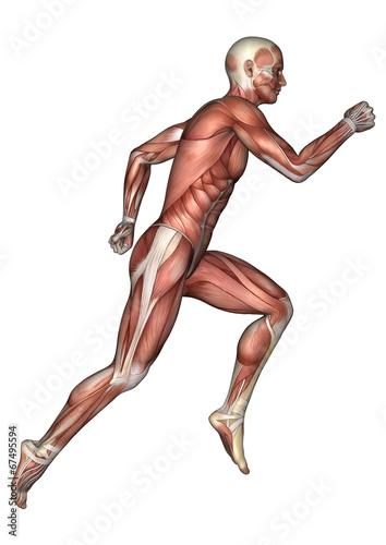 Fotografía  Male Anatomy Figure