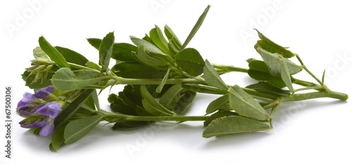 Photo Medicago sativa Alfalfa Erba medica Luzerne برسيم حجازي