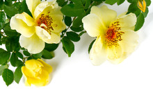 Yellow Garden Roses Isolated On White