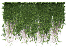 Growing Ivy Leaves Isolated On...
