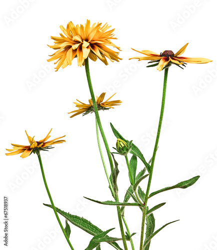 Spoed Foto op Canvas Bloemen vrouw flower rudbeckia isolated on white background