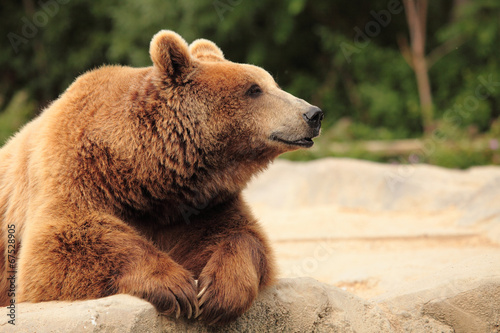 Fotografia  wild brown bear