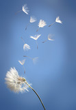 Fototapeta Dmuchawce - flying dandelion seeds on a blue background