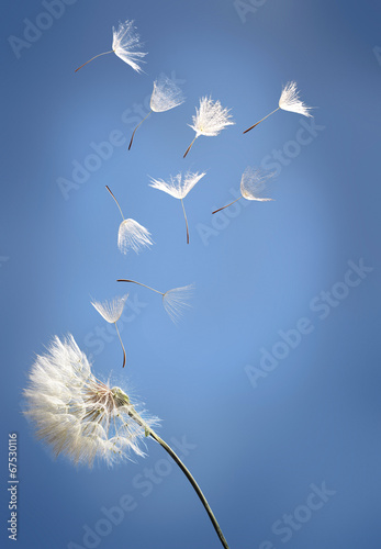 Obraz na plátně  flying dandelion seeds on a blue background