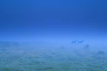 Two Horse Shadows In Fog