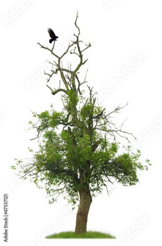 Alter Birnbaum mit Rabe vor weißem Hintergrund
