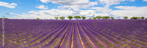 Fototapety, obrazy: Panoramic view of Lavender field
