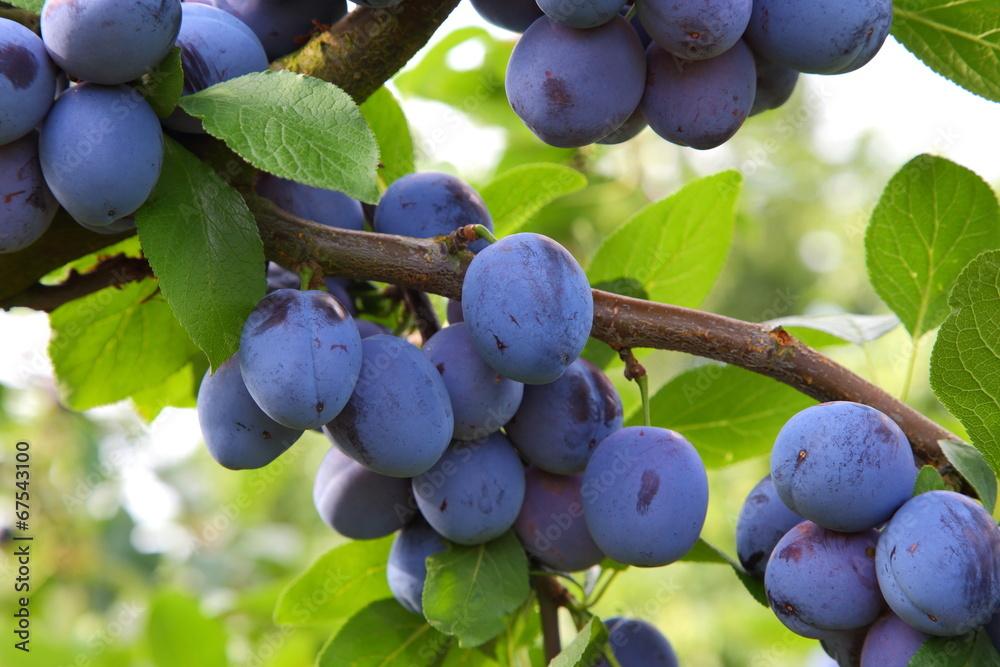 Fototapety, obrazy: Pflaumen (Prunus domestica)