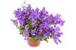 bells flowers in a pot