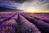 Fototapeta Lavender - Lavender Sunrise