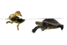 Duck And  Turtle