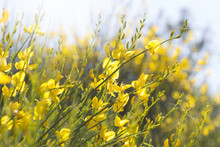 Yellow Nature Flower Blooming Gorse