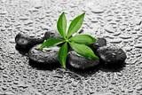 Fototapeta Kamienie - Mokry liść na kamieniach bazaltowych
