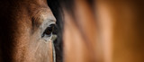 Fototapeta Horses - Eye of Arabian bay horse