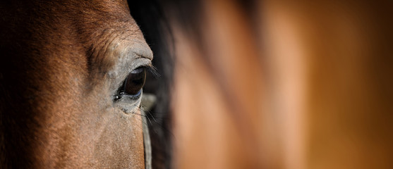 Eye of Arabian bay horse