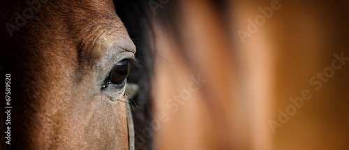 Photo  Eye of Arabian bay horse