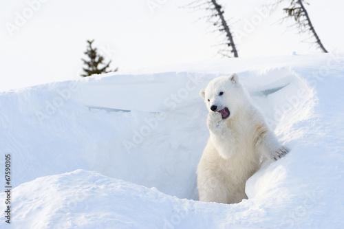 Deurstickers Ijsbeer Polar bear (Ursus maritimus) cub playing around den.