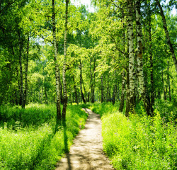 Fototapeta Las Birch forest on a sunny day. Green woods in summer