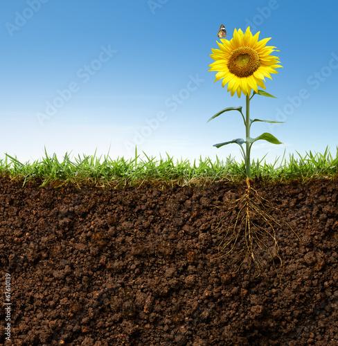 In de dag Zonnebloem flower with roots