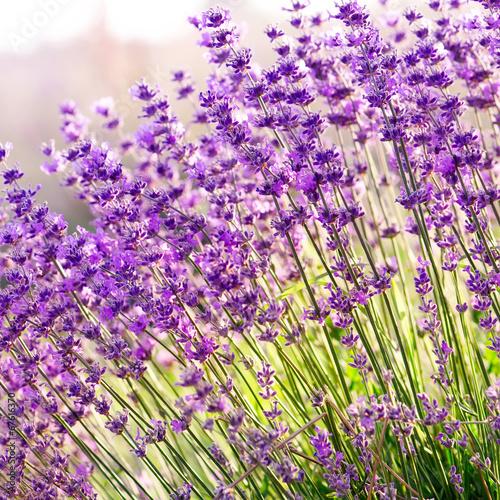 kwiaty-lawendy-z-bliska