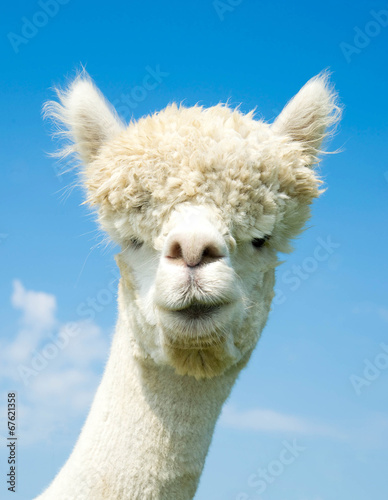 Weißer Alpaka – Kopf