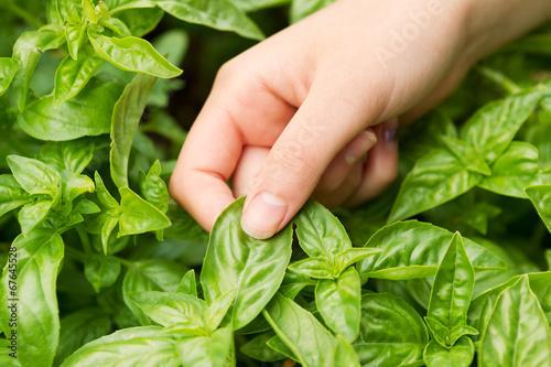 Cuadros en Lienzo Fresh Basil ready to harvest