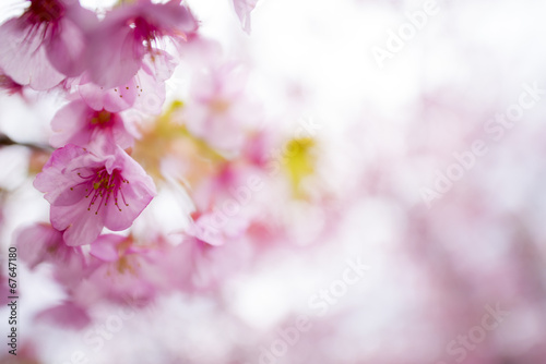 Poster Blanc 河津桜