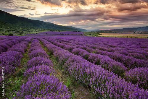 Stunning landscape with lavender field at dawn Billede på lærred
