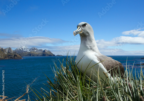 Black-browed albatross Slika na platnu
