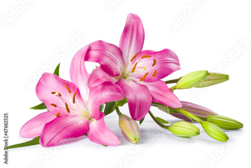 Fotografia  Pink lily flower isolated on white background