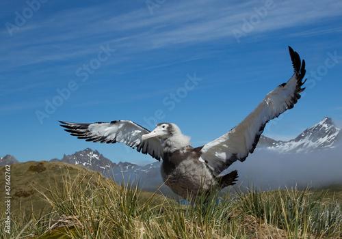 Fotografia, Obraz  Young wandering albatross